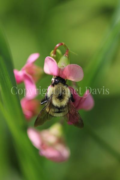 Common Eastern Bumble Bee on Everlasting Sweet Pea 3