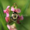 Common Eastern Bumble Bee on Everlasting Sweet Pea 3