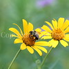 Brown-Belted Bumble Bee on False Oxeye 3