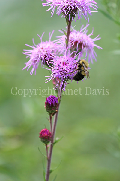 Common Eastern Bumble Bee on Rocky Mountain Blazing Star 1