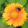 Common Eastern Bumble Bee on Yellow Gaillardia