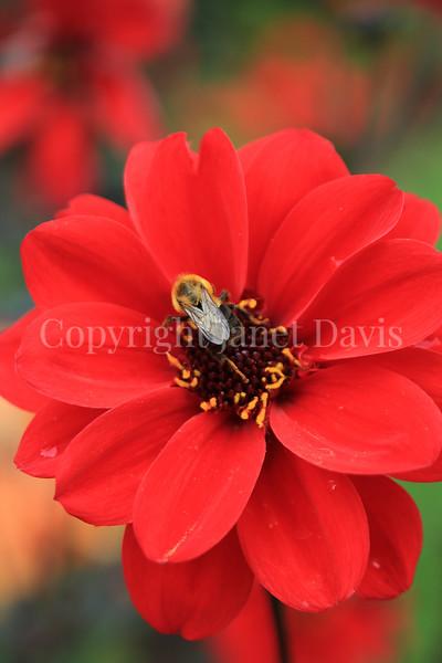 Common Eastern Bumble Bee on 'Bishop of Llandaff' Dahlia 2