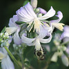 Common Eastern Bumble Bee on Clematis jouiniana 'Praecox' 2