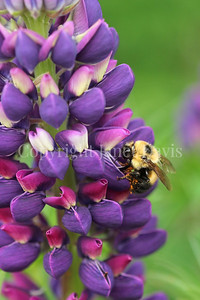Two-Spotted Bumble Bee on Russell Hybrid Lupine 4
