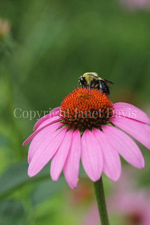 Brown-Belted Bumble Bee on Purple Coneflower 3