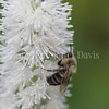 Common Eastern Bumble Bee on Fall Snakeroot