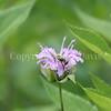 Common Eastern Bumble Bee on Wild Bergamot 1