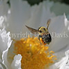 Brown-Belted Bumble Bee on 'Krinkled White' Peony