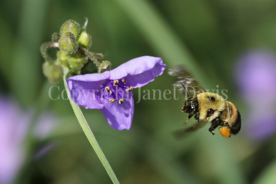 Brown-Belted Bumble Bee on Spiderwort
