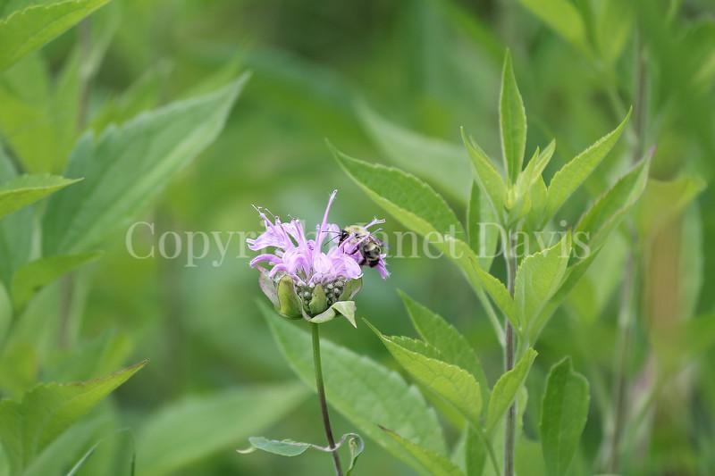 Common Eastern Bumble Bee on Wild Bergamot 2
