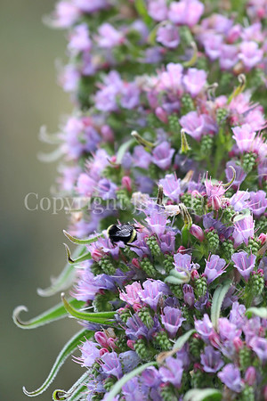 California Bumble Bee on Tree Echium