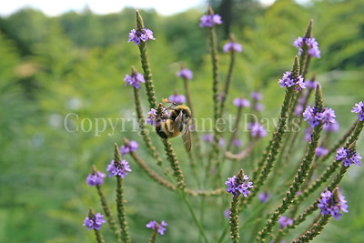 Yellow-Banded Bumble Bee on Swamp Vervain 1