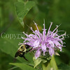 Common Eastern Bumble Bee on Wild Bergamot 9