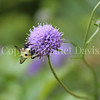 Common Eastern Bumble Bee on Devil's Bit Scabious