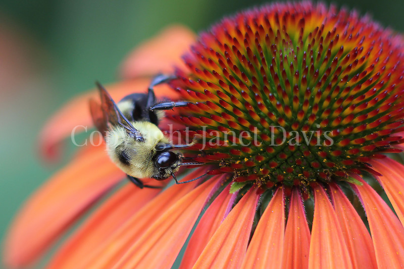 Common Eastern Bumble Bee on 'Tangerine Dream' Echinacea