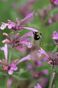 Common Eastern Bumble Bee on Mexican Giant Hyssop 2