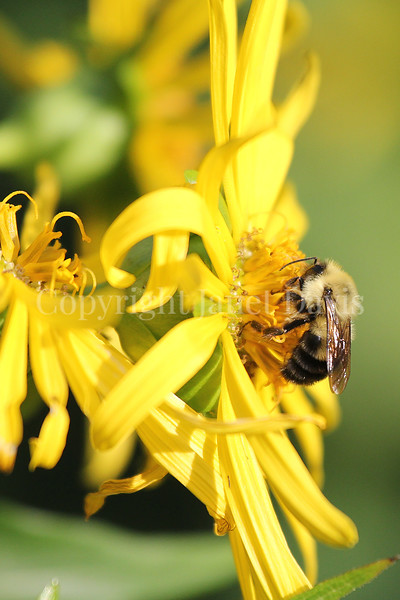 Common Eastern Bumble Bee on Cup Plant 6