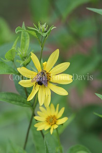 Brown-Belted Bumble Bee on Helianthus 'Lemon Queen' 1