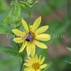 Brown-Belted Bumble Bee on Helianthus 'Lemon Queen' 1