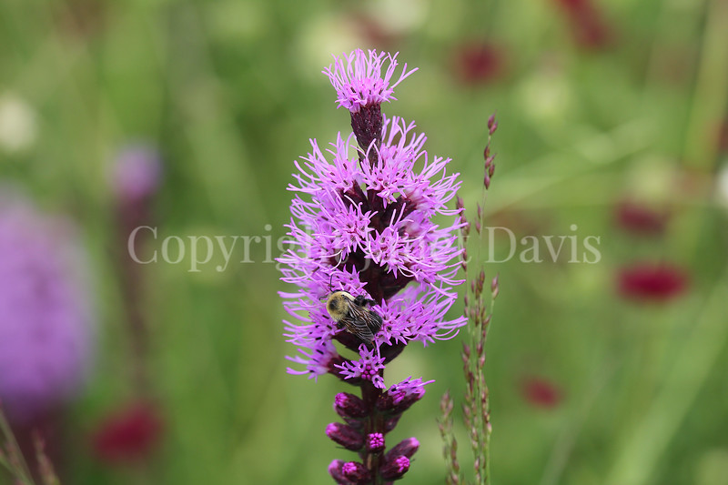 Brown-Belted Bumble Bee on Blazing  Star 2