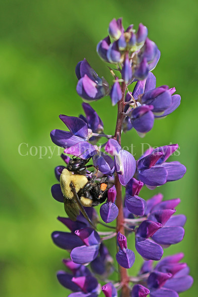 Common Eastern Bumble Bee on Wild Lupine 6
