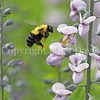 Common Eastern Bumble Bee on 'Prairie Smoke' False Indigo