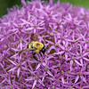 Brown-Belted Bumble Bee on Allium 'Globemaster' 2