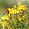 Brown-Belted Bumble Bee on Saint Johns Wort
