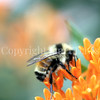 Orange-Belted Bumble Bee on Butterfly Milkweed 3