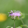 Common Eastern Bumble Bee on Wild Bergamot 5