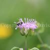 Common Eastern Bumble Bee on Wild Bergamot 5
