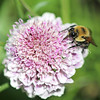 Brown-Belted Bumble Bee on Scabious