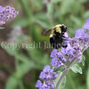Common Eastern Bumble Bee on Catmint