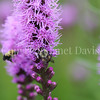 Brown-Belted Bumble Bee on Blazing  Star 1
