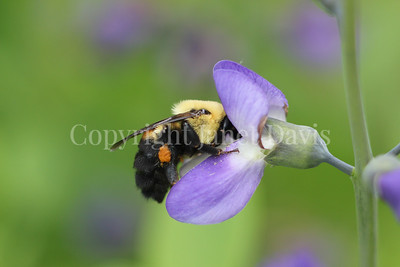 Brown-Belted Bumble Bee on Blue False Indigo 2