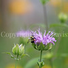 Common Eastern Bumble Bee on Wild Bergamot 3