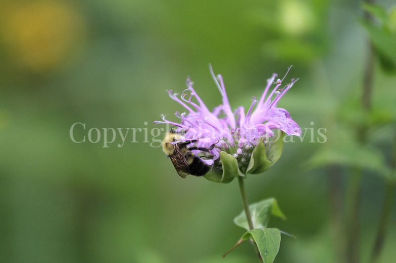 Common Eastern Bumble Bee on Wild Bergamot 8