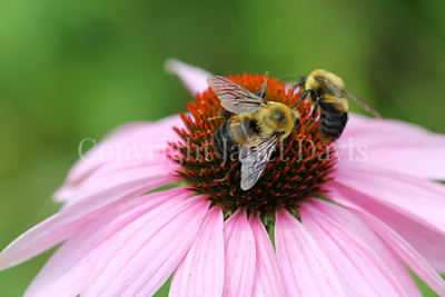 Brown-Belted Bumble Bee on Purple Coneflower 5