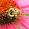 Orange-Belted Bumble Bee on Purple Coneflower 1