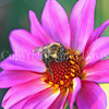 Common Eastern Bumble Bee on Pink Dahlia