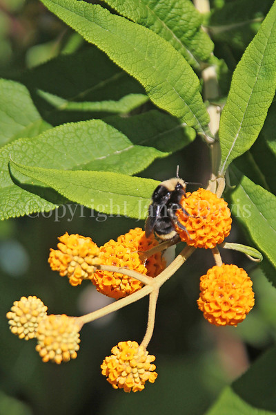 Yellow-Faced Bumble Bee on Orange-Ball Buddleia