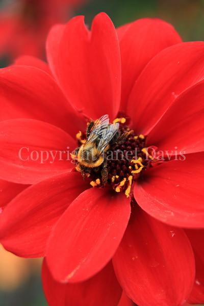 Common Eastern Bumble Bee on 'Bishop of Llandaff' Dahlia 1
