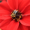 Common Eastern Bumble Bee on 'Bishop of Llandaff' Dahlia 1