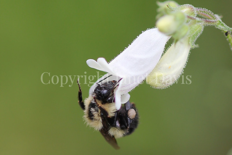 Common Eastern Bumble Bee on Foxglove Penstemon 1