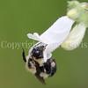 Common Eastern Bumble Bee on Foxglove Penstemon 1