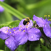 Common Eastern Bumble Bee on Ohio Spiderwort 2