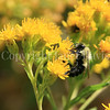 Common Eastern Bumble Bee on Showy Goldenrod 1
