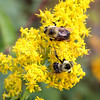 Common Eastern Bumble Bees on Showy Goldenrod 2