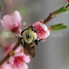 Common Eastern Bumble Bee on Peach Blossom