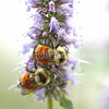 Orange-Belted Bumble Bees on Anise Hyssop 3